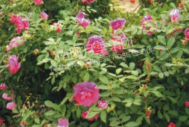 湖北四季玫瑰