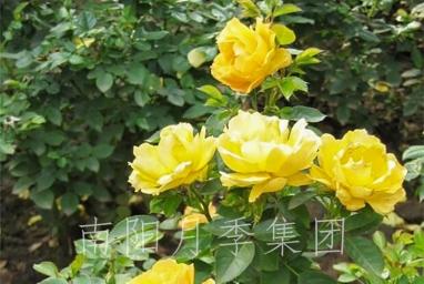 山东黄从容