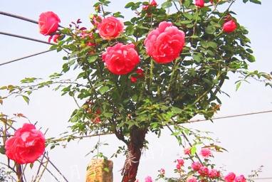襄阳树状月季产品