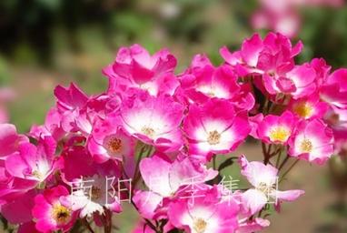 武汉玫瑰地毯