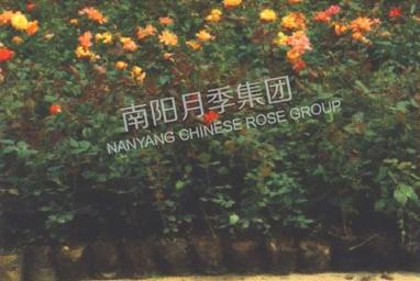山东盆栽月季